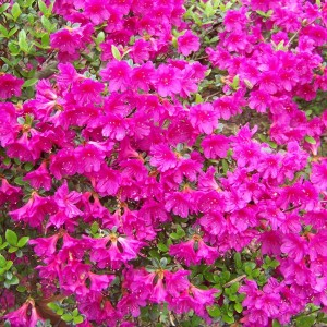 closeup-of-pink-red-azalea