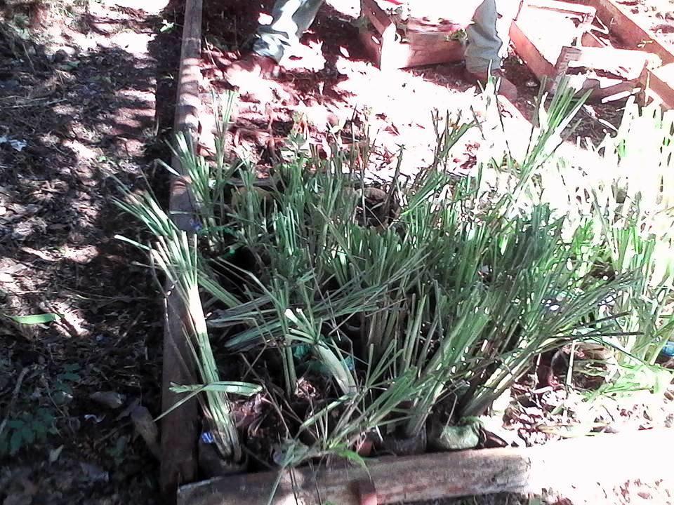 Intercambio de plantas arom ticas en el jard n bot nico for Jardin de plantas aromaticas