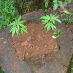 En un allanamiento por hurto la Policía incautó plantas de marihuana en Villa Bonita
