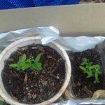 Incautan  plantines de marihuana en la casa de un joven detenido por robo