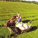 Desde el Ministerio del Agro estiman que la cosecha del té cayó un 30%