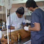Esterilización quirúrgica a mascotas