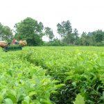 Advierten por caída en la producción de té e incumplimiento de precios
