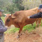 La Policía recuperó un animal vacuno robado en Villa Bonita