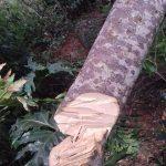 Un pino caído sobre la Línea Campo Ramón dejó a una gran cantidad de vecinos sin Energía Eléctrica