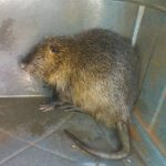 Rescataron y devolvieron a su hábitat a una nutria roedora en Guaraní