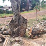 """En la Capital del Monte, indignación por la """"mutilación"""" de un majestuoso árbol nativo"""