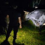 Recuperaron una yunta de bueyes robada en Campo Ramón