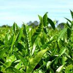 Establecieron nuevos precios para el brote de té en Misiones