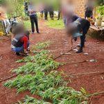 La Policía secuestró semillas, envoltorios y plantas de marihuana en Campo Viera