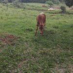 La Policía recuperó una vaca robada en Picada Vasca de Oberá