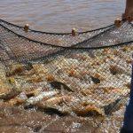 Campo Viera ultima detalles para la cosecha de peces con la mira puesta en la Semana Santa