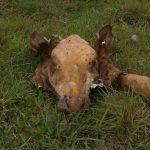 La pesadilla de los ganaderos continúa y no cesan los casos de abigeato en Misiones