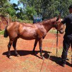 Recuperaron en Guaraní un caballo robado en Oberá