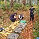Secuestraron 125 kilos de marihuana en un eucaliptal de Oberá